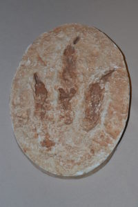 A cast of a dinosaur foot print! We know this one was a carnivore. Do you know why? 200 million years old.