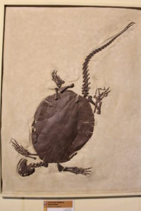 A cast of a long tailed turtle. 55 million years old.