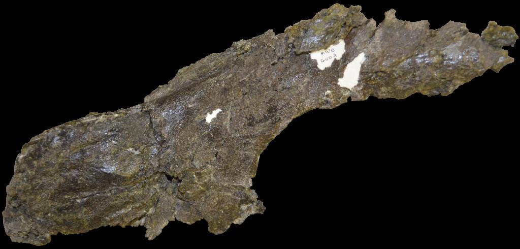 Apatosaurus Maxilla