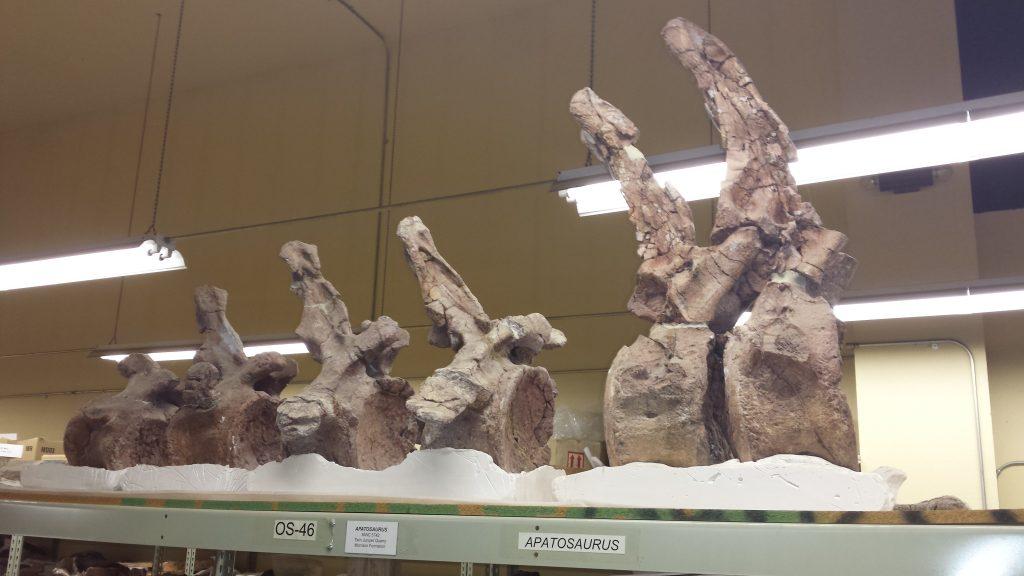 Apatosaurus Tail Vertebrae