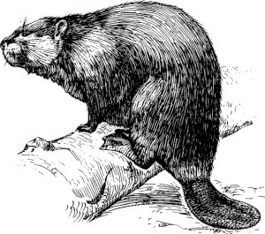 Trappers hunted beaver and other game animals.