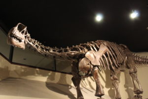 Camarasaurus. 152 million years old.