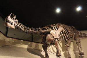 Camarasaurus. 152 million years old.