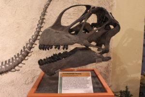 Camarasaurus skull. 152 million years old.