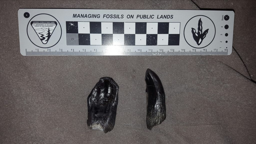Camarasaurus tooth crown