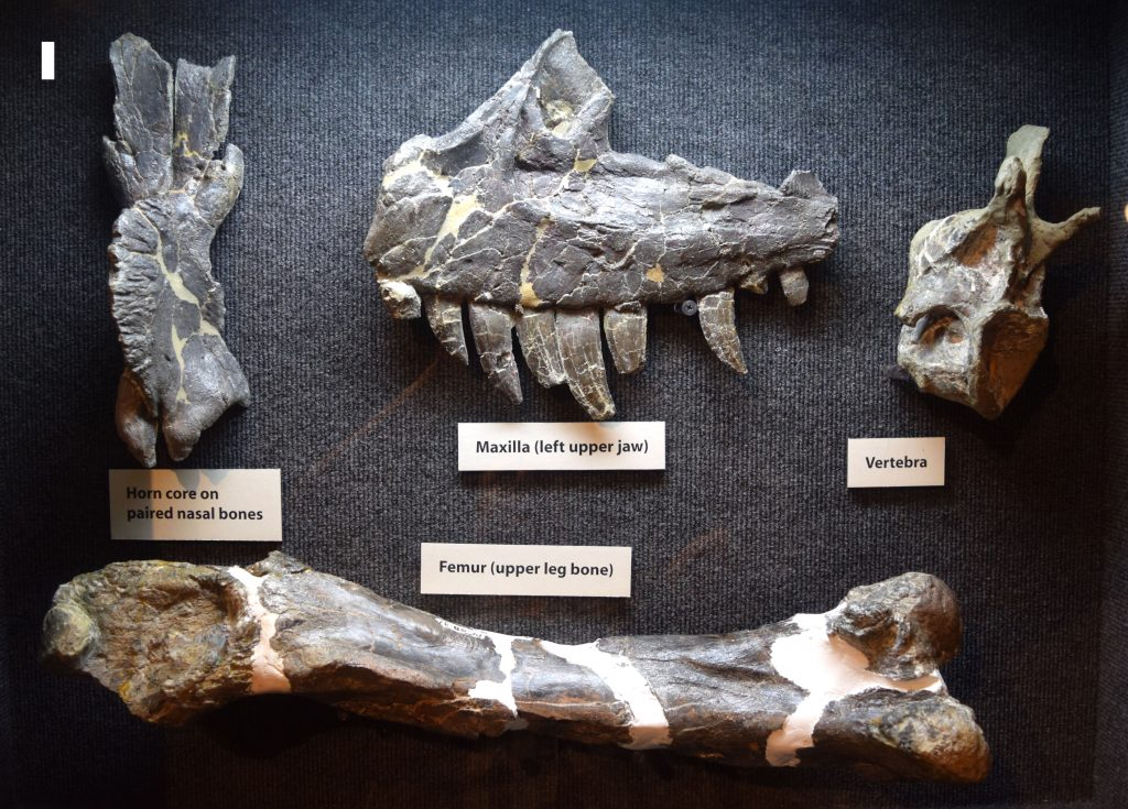 Ceratosaurus Fossils on display at Dinosaur Journey