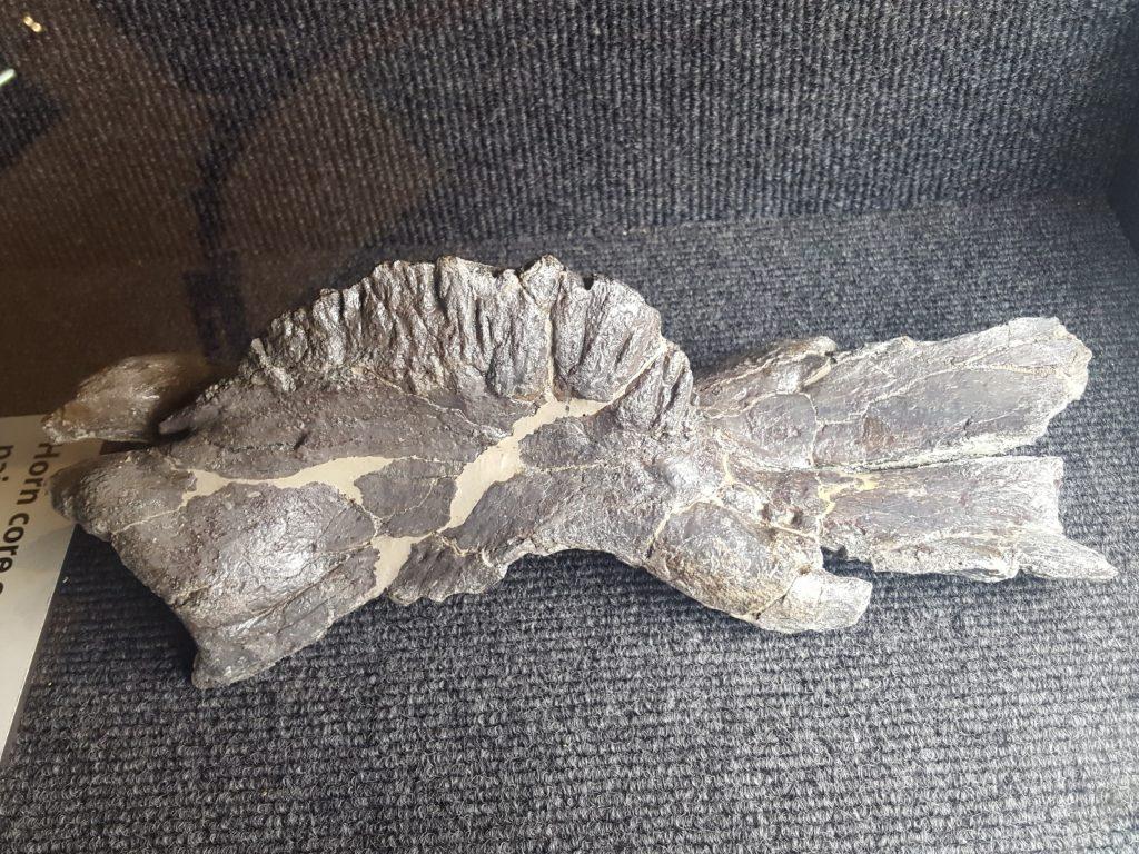 Ceratosaurus nasal bones and horn