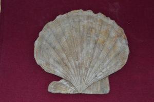 Scallop shell.