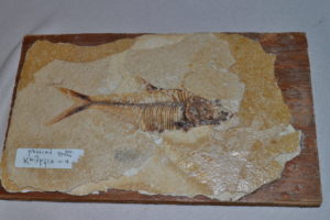 Fossilized herring. 55 million years old.