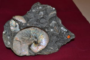 Fossilized shells. 95 million years old.