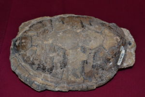 Fossilized turtle shell.