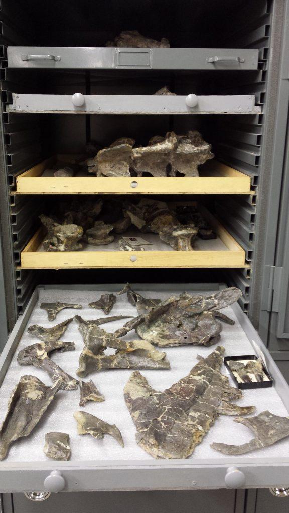 Ceratosaurus skull bones