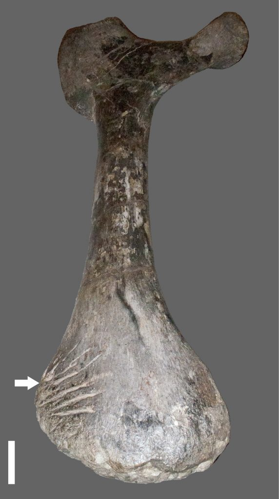 Apatosaurus Ischium arrow points to Bite Marks