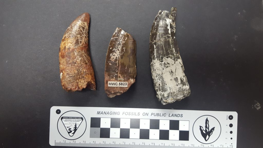 Ceratosaurus teeth