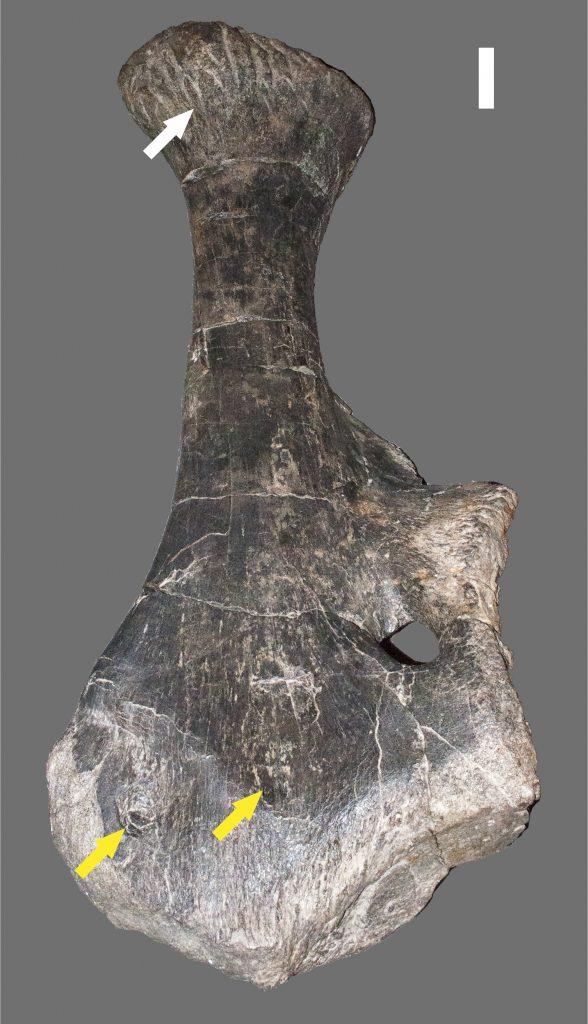 Apatosaurus Pubis Arrows Point to Feeding Marks