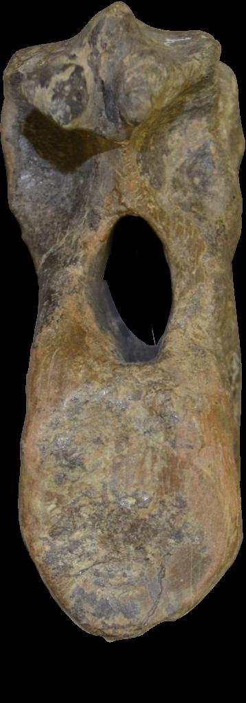 Mymoorapelta Vertebra 2