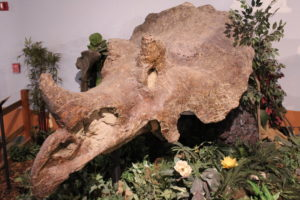 One of the largest Triceratops skulls ever found!65 million years old.