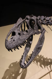 The fearsome Alice the Allosaurus! 152 million years old.