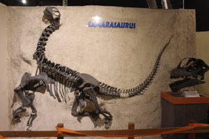 This Camarasaurus died as a juvenile. It was only a few years old. Imagine just how fast these dinosaurs grew! 152 million years old.