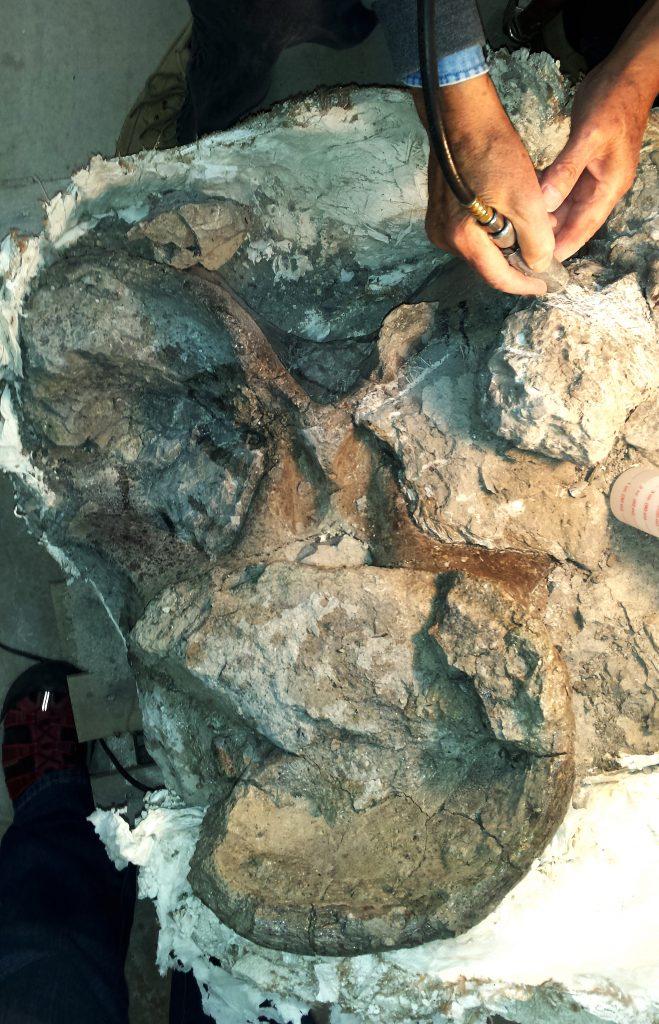 Apatosaurus Cervical Vertebra